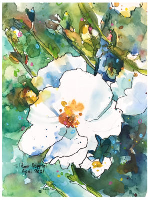 white poppy watercolor painting by emily weil